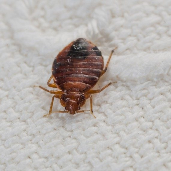 Bed Bugs, Pest Control in Harefield, Denham, UB9. Call Now! 020 8166 9746