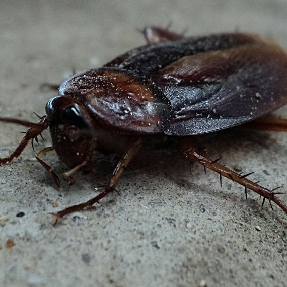 Cockroaches, Pest Control in Harefield, Denham, UB9. Call Now! 020 8166 9746