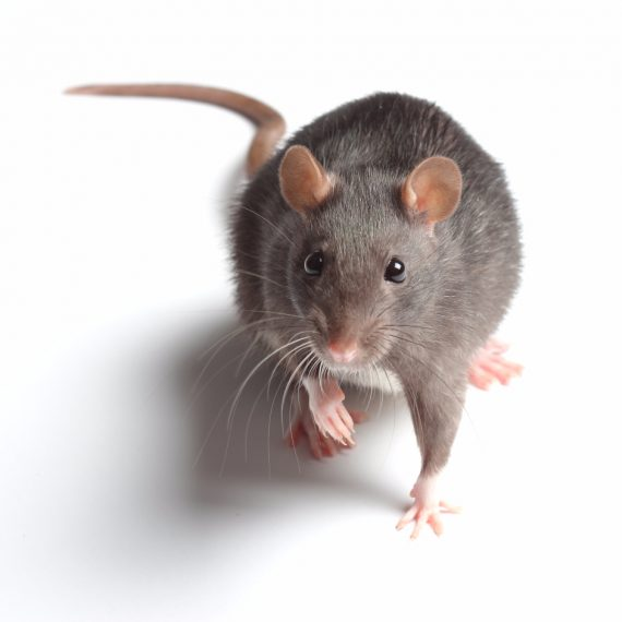 Rats, Pest Control in Harefield, Denham, UB9. Call Now! 020 8166 9746
