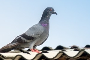 Pigeon Control, Pest Control in Harefield, Denham, UB9. Call Now 020 8166 9746