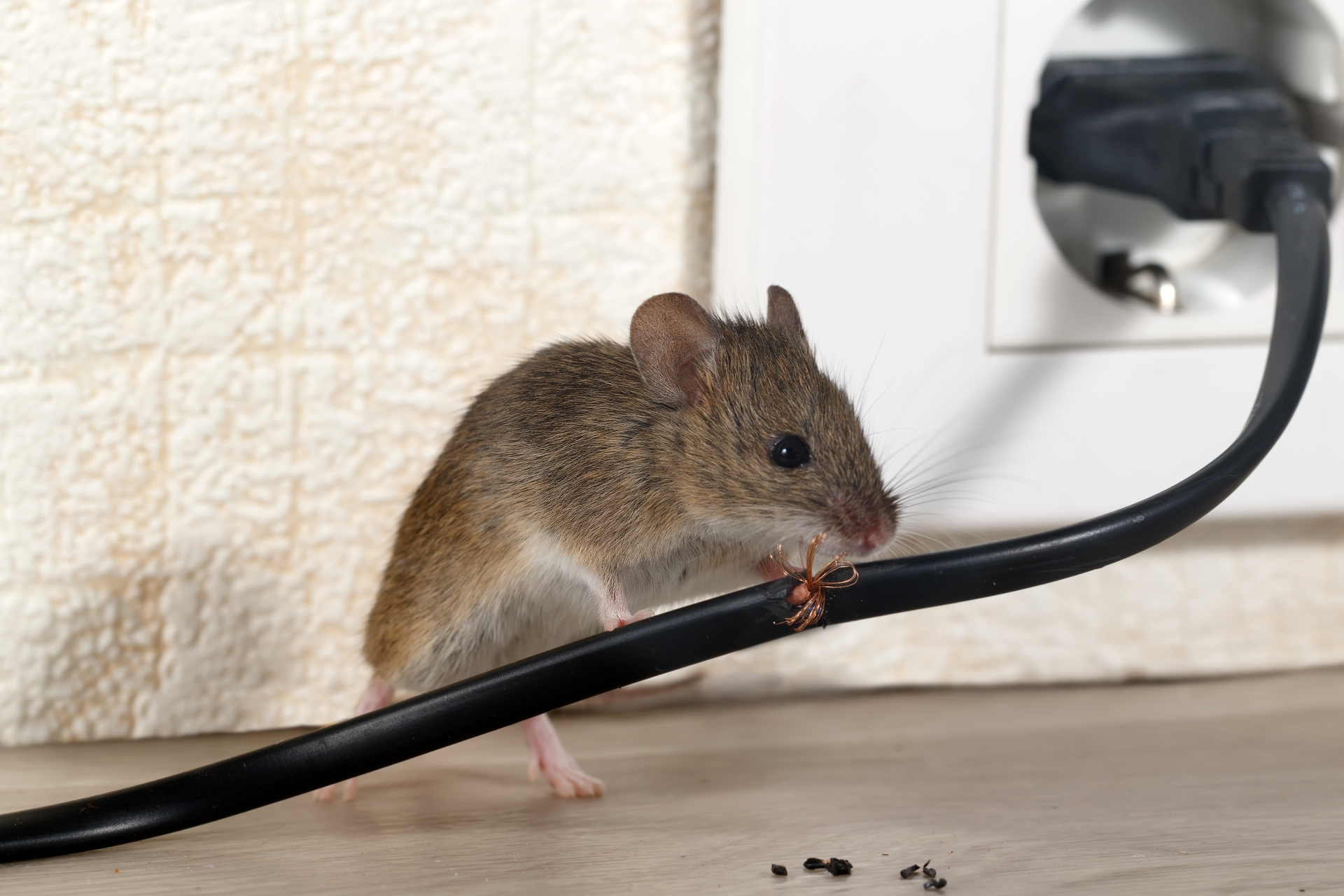 Mice Infestation, Pest Control in Harefield, Denham, UB9. Call Now 020 8166 9746