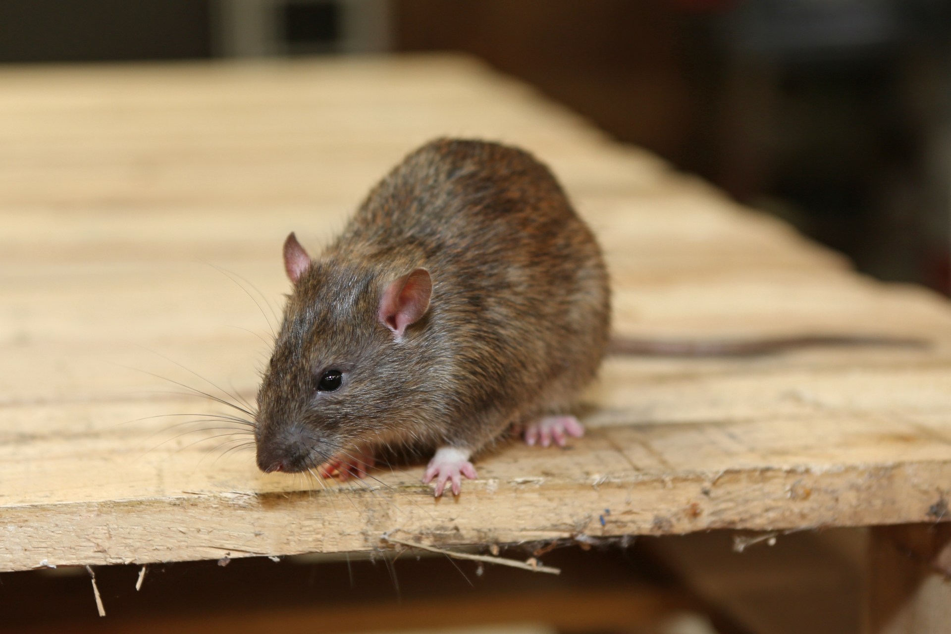 Rat Infestation, Pest Control in Harefield, Denham, UB9. Call Now 020 8166 9746