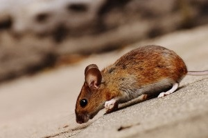 Mouse extermination, Pest Control in Harefield, Denham, UB9. Call Now 020 8166 9746